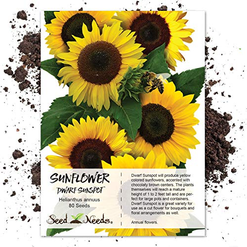 Sunflower Sowing Seeds (Seed Needs, Dwarf Sunspot Sunflower (Helianthus annuus) 80 Seeds Non-GMO)
