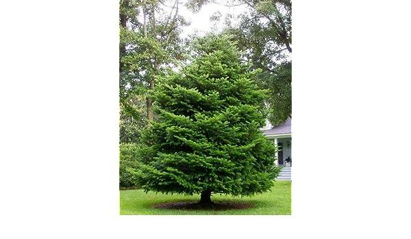 Amazoncom 50 Momi Fir Tree Seeds Abies Firma Garden Outdoor