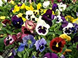 500 Seeds Johnny Jump-up (Viola Tricolor) Purple, Yellow and White - Mixed Flowers Seeds!