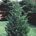 "25 LEYLAND CYPRESS TREE in 3"" pot- (Cupressocyparis leylandii)"