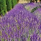 Thompson & Morgan English Lavender 'Lavandula Munstead' Potted Garden Plants, Drought Tolerant Evergreen Shrubs, Ideal for Pollinators, Cottage Garden, Patios and Containers (1 x 9cm Pot)