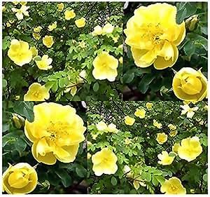 (10) Canary Bird Rose Seeds - Rosa xanthina spontanea - Combined S&H