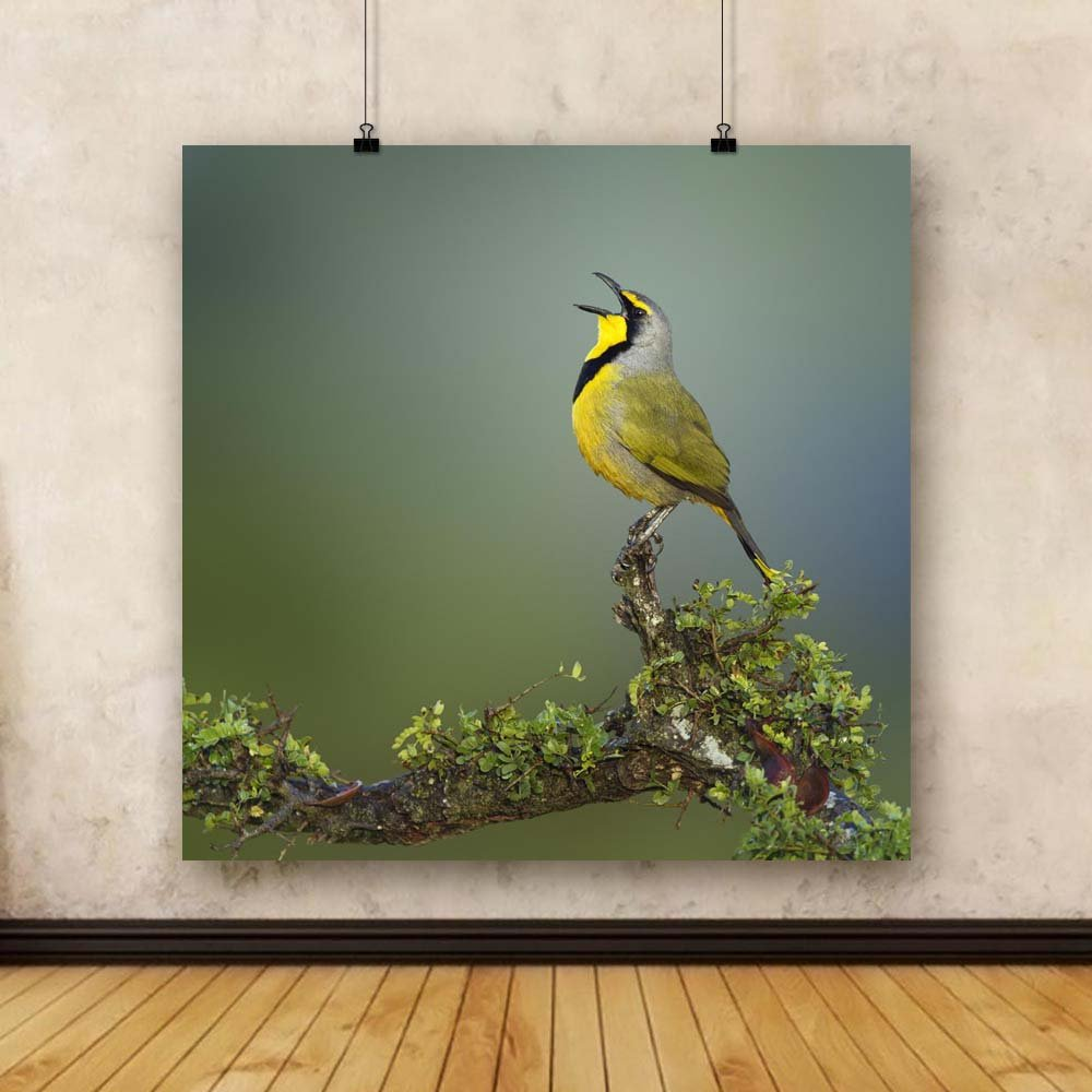 Pitaara Box Bokmakierie Bird of South Africa Unframed Canvas Canvas Unframed Painting 35.1 x 34.5inch 404897