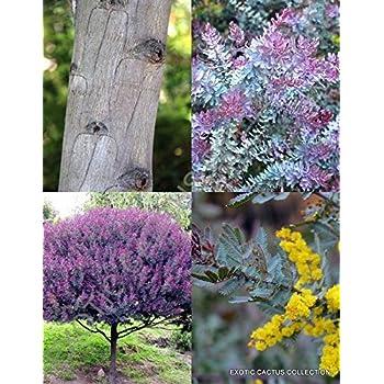 Amazoncom Acacia Baileyana Purpurea Cootamundra Rare Flowering