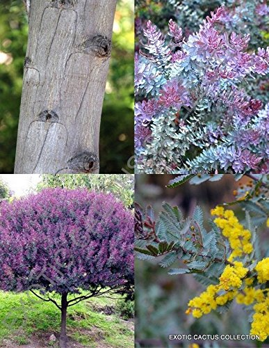 Acacia Baileyana Purpurea cootamundra rare flowering wattle tree purple 50 seeds (Purple Flowering Tree)