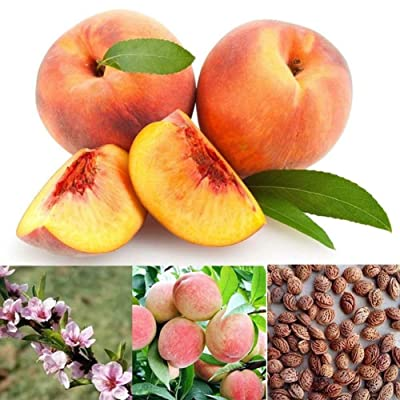 Dyllutrwhe Vegetables Seeds 50Pcs Seeds Juicy Delicious Fruit Tree Garden Yard Bonsai Plant Peach Seeds : Garden & Outdoor