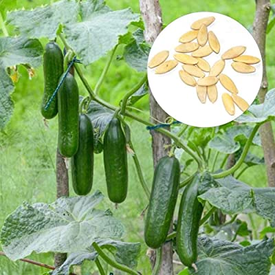 Gilroy 300Pcs Fruit Cucumber Seeds Vegetable Plant Home Garden Balcony Decor for Planting for Indoor and Outdoor : Garden & Outdoor