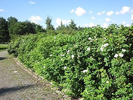 Wildrosenhecke Apfelrosen im 10er Paket