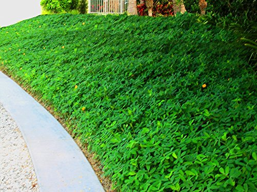 Ornamental Peanut Grass - 20 Live Fully Rooted Plants - Arachis Glabrata