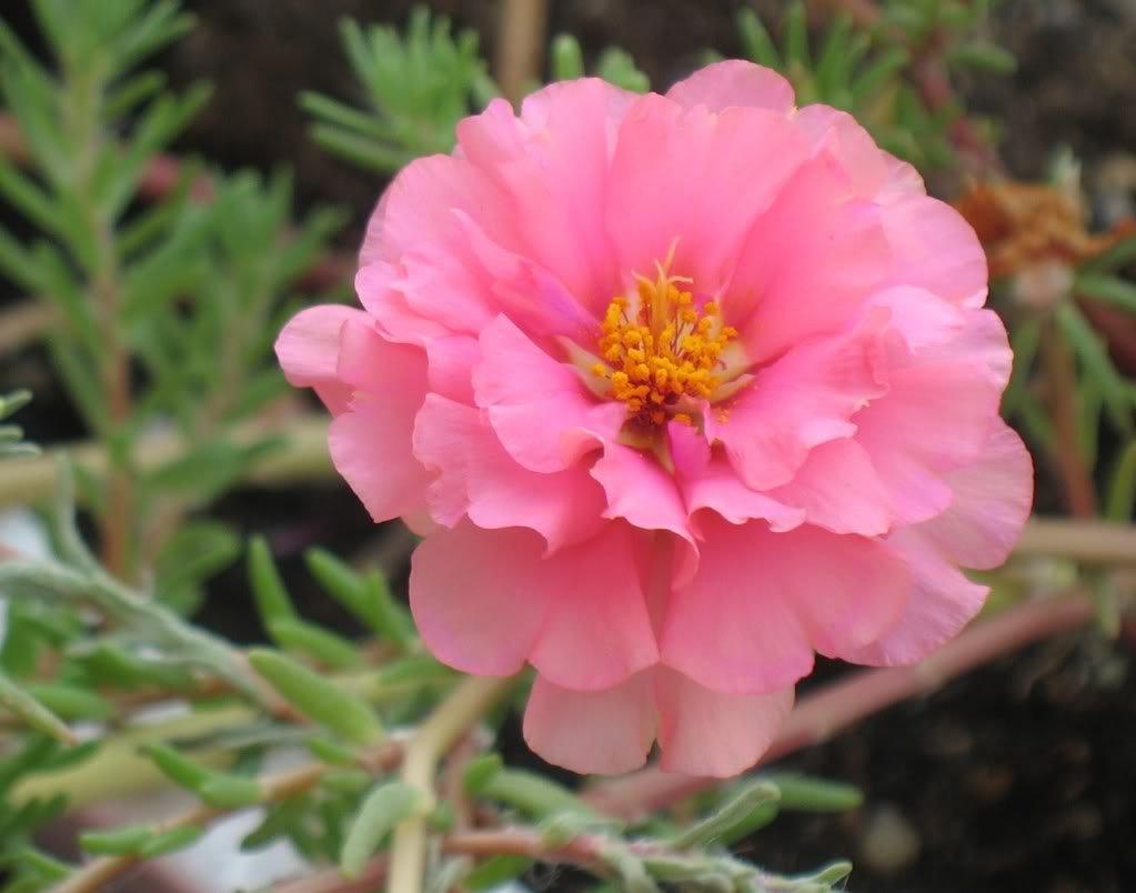 Amazon 100 Pink Portulaca Grandiflora Moss Rose Flower Seeds