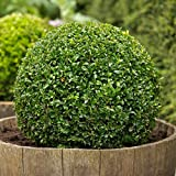 30 Boxwood, Buxus Sempervirens, Seeds, (Hardy Evergreen, Topiary, Hedge, Bonsai)