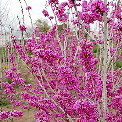 Bio Garden - Rare 10pcs Cercis chinensis Chinese Redbud Seeds Easy to Grow, Exotic Flower Seeds Hardy Perennial Garden : Garden & Outdoor