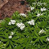 Asperula Galium Odoratum / Sweet Woodruff 50 seeds (#1344)