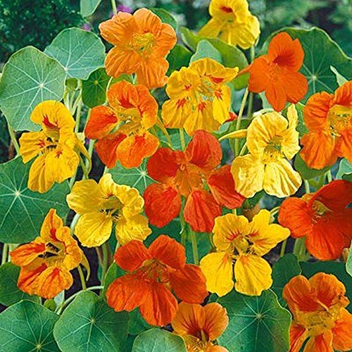 - Dwarf Nasturtium 'Jewel Mix' Seeds (40 Seed Pack)