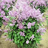 Box of 2 Syringa villivosa 3'+ tall, Korean Lilac fragrant pink/purple flowers.
