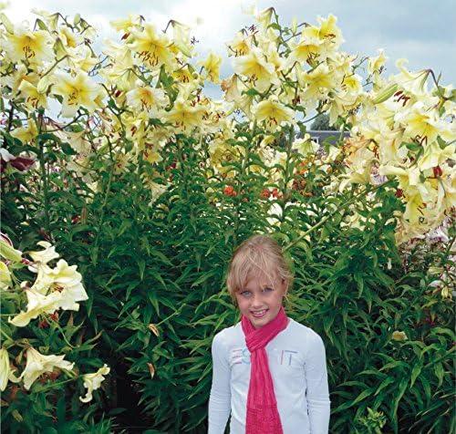 bulbo//tub/érculo//ra/íz Tree Lily Lilium Lirios Orania Azucenas