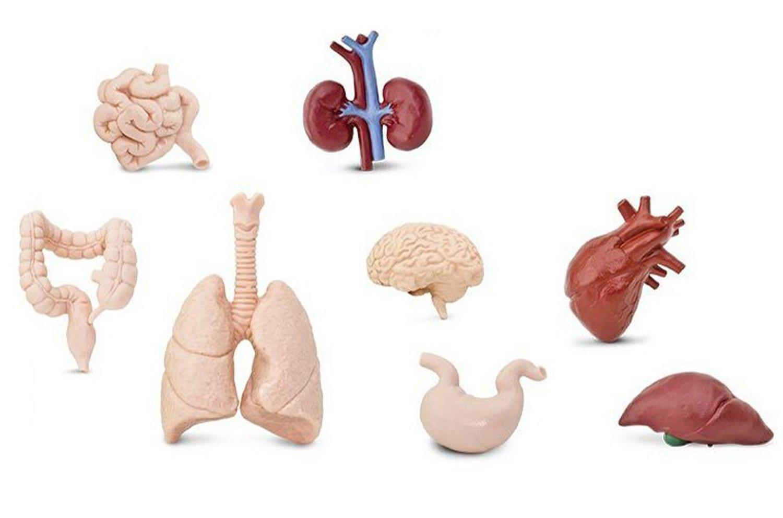 Miniblings 7X Organe des Menschen Set Kunststoff Leben Medizin ...