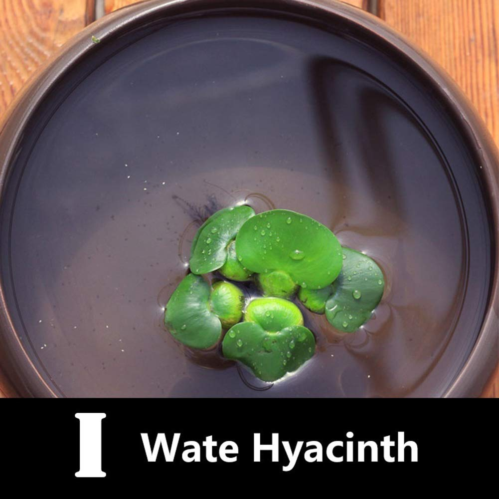 100Pcs Aquatic Plant Seeds Water Hyacinth Pistia Hottonia Ludwigia Pond Decor A Aquatic Plant Seeds