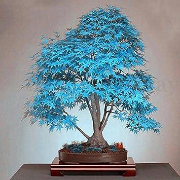 20 Stuck Blau Japanischer Ahorn Baum Bonsai Samen Balkon Pflanzen