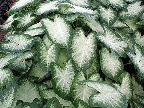 Fancy Aaron Caladium 3 Bulbs - Frosty White/Green ()