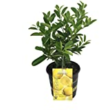 "Four Seasons Eureka Lemon Tree - Fruiting Size/Well Branched - 8"" Pot"