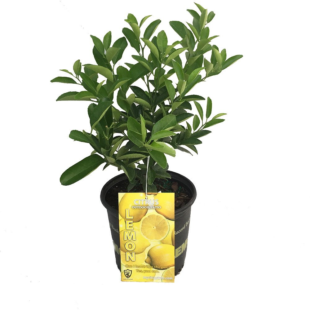 Four Seasons Eureka Lemon Tree - Fruiting Size/Well Branched - 8'' Pot