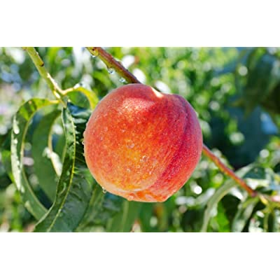 (3 Gallon) Loring Peach Tree- Self Pollinating, Pink and White Fragrant Bloom, Yellow Flesh, Good for Processing, Great for Fresh Eating, Canning and Preserves, Grafted : Garden & Outdoor