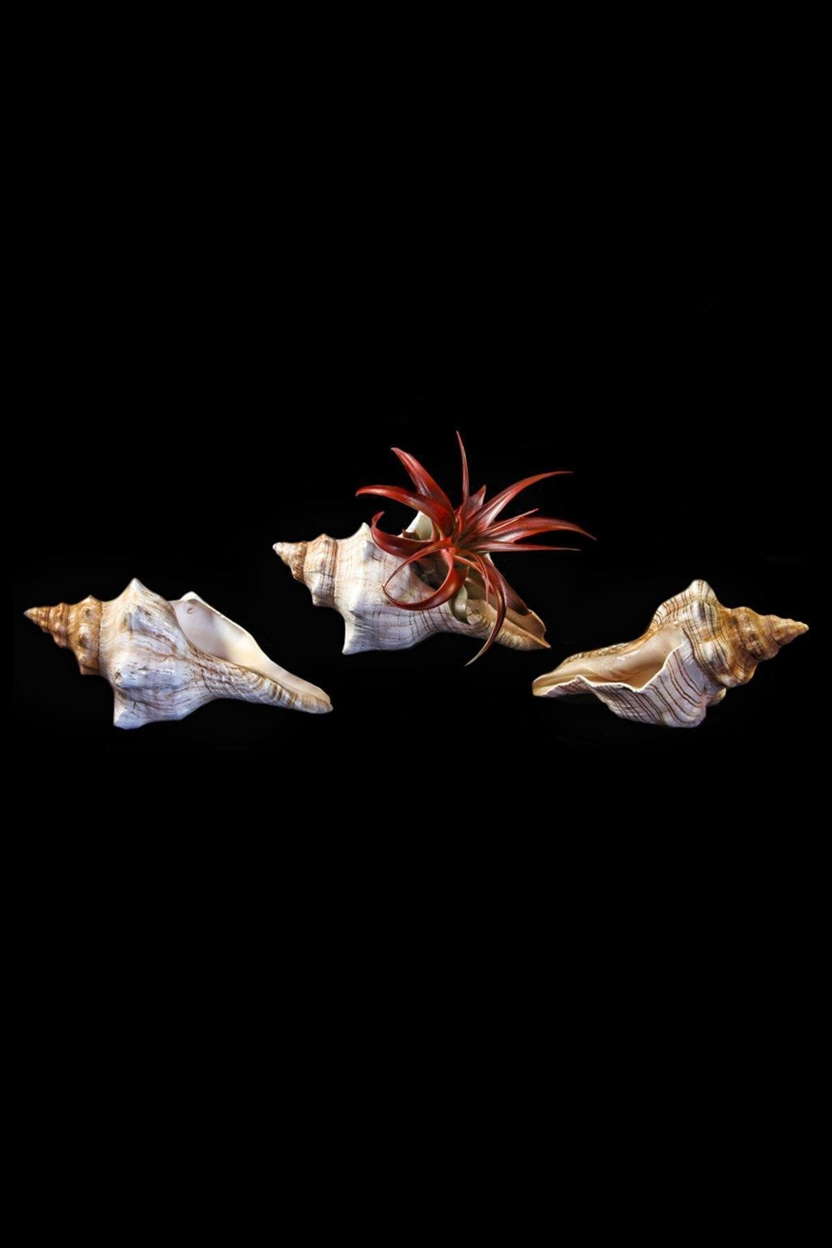 Shell with Tillandsia Air Plant Bromeliad (Cant Ship AZ CA), 1 Pack (3-4in Pot, Live Plant) by Root 98 Warehouse (Image #2)