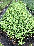PlantVine Helianthus debilis, Dune Sunflower, Beach Sunflower - 6 Inch Pot (1 Gallon), 4 Pack, Live Plant