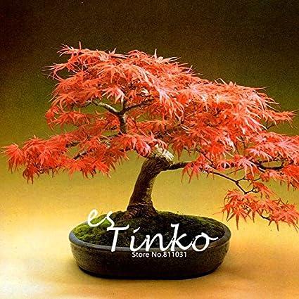 Amazoncom 30pcs Japanese Maple Seeds Acer Palmatum Dissectum