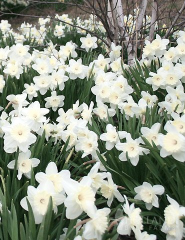 Wholesale White Daffodils 500+ (Mt Hood) by Holland Bulb Farms