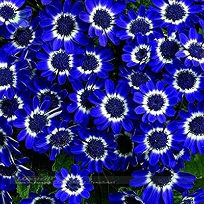 50 Blue Daisy, Blue Cineraria easiest growing flower, hardy plants flower seeds exotic ornamental for garden : Garden & Outdoor