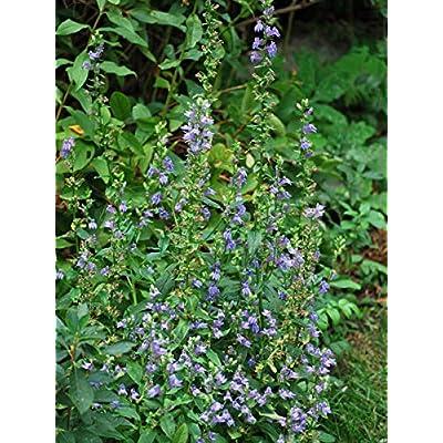 Perennial Farm Marketplace Lobelia siphilitica (Blue Cardinal) Perennial, Size-#1 Container, Bluish Flowers : Garden & Outdoor