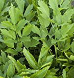 Outsidepride Lovage Herb Plant Seeds - 1000 Seeds