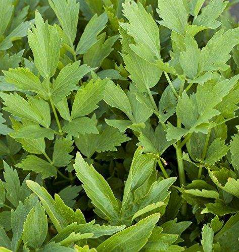 Outsidepride Lovage Herb Plant Seeds - 1000 Seeds