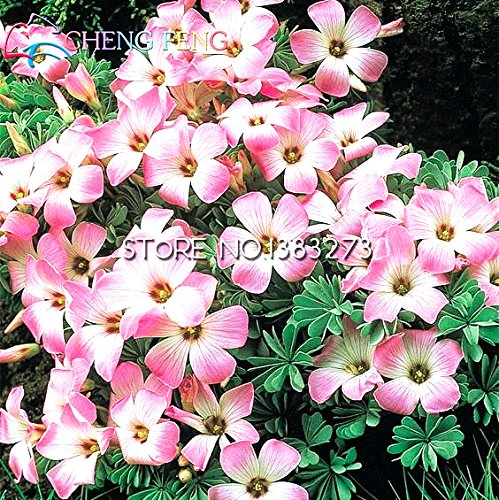 Hot Sale 30 Pcs Oxalis Seeds Flower Seeds Perennial In Bonsai Planting Gardens Japanese Plantas Seed *** Plants For Garden Pots