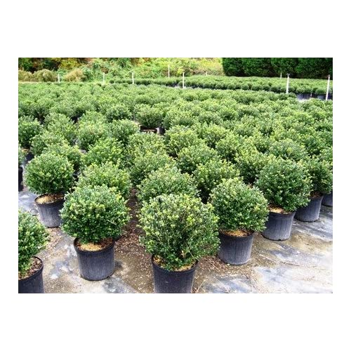 """New (3 Gallons) """"Soft Touch"""" Compact HOLLY, Glossy Evergreen, Great Foundation and Hedge Plant, supplier"""