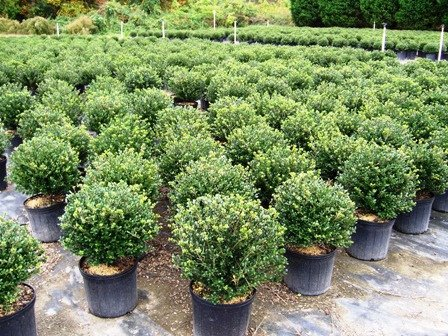 """(3 Gallons) """"Soft Touch"""" Compact HOLLY, Glossy Evergreen, Great Foundation and Hedge Plant,"""