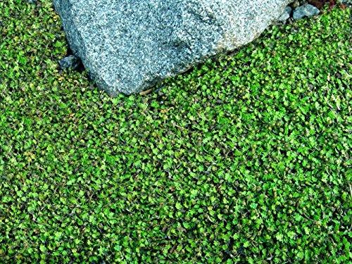 tiny-tim-fairy-fern-leptinella-25-pot-terrarium-fairy-garden-houseplant