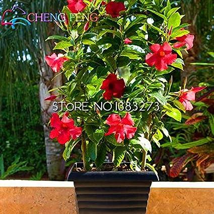 Amazon.com : Rare Plant 50pcs A Bag Mandevilla Sanderi Seeds ...