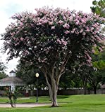 LARGE BASHAM'S PARTY PINK CRAPE MYRTLE, 4ft Tall When Shipped, FASTEST GROWING CRAPE MYRTLE, Matures 30ft, 1 Tree, Delicate Light Pink (Shipped Well Rooted in Pots with Soil) Review