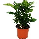 Coffee Plant (Coffea arabica) - 1 Plant - Houseplant