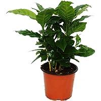 Kaffee Pflanze (Coffea arabica) 1 Pflanze - Zimmerpflanze