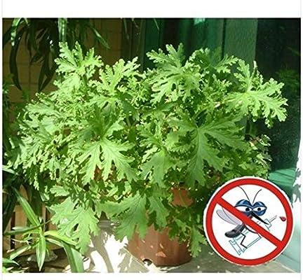 ajenjo semillas aromáticas, plantas aromáticas, Ajenjo jején de la impulsión del hogar las plantas en maceta Pulsera antimosquitos Jardín de Bonsais: Amazon.es: Jardín