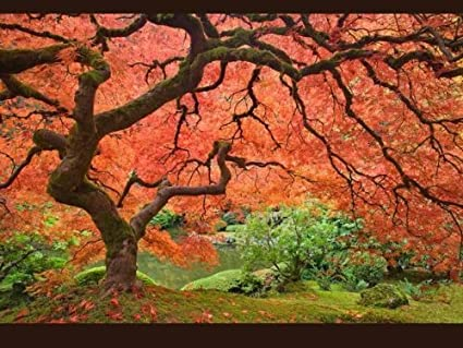 Amazon Com 25 Scarlet Carolina Red Maple Tree Acer Rubrum Seeds