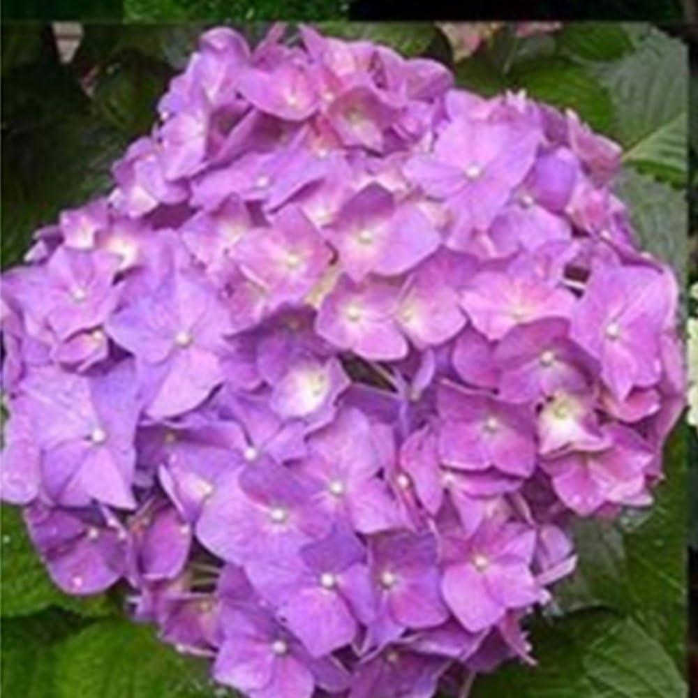 SKAISK Semillas de Hortensia moradas, 20 Piezas Paquete de Semillas de Flores perennes de Bolas Bordadas fáciles de Cultivar para la plantación de Jardines Decoración en Maceta