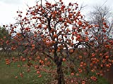 Persimmon Tree – Diospyros virginiana – Healthy Established Roots - 2 Gallon Potted - 1 Plant by Growers Solution