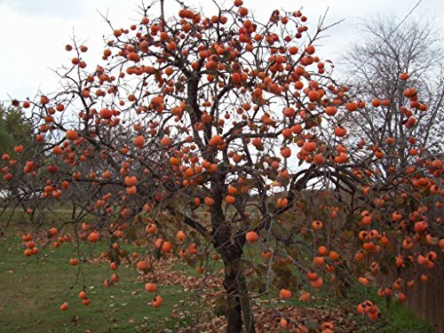 Persimmon Tree - Diospyros virginiana - Healthy Established Roots - One Trade Gallon - 1 Plant by Growers Solution (Best Pear Trees For Deer)