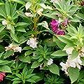 David's Garden Seeds Flower Balsam Impatiens SL6644 (Multi) 100 Open pollinated Seeds