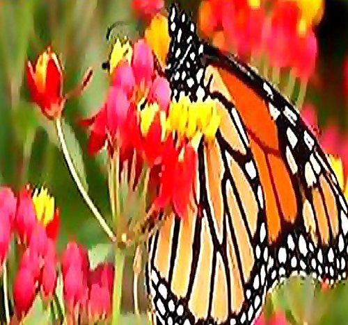 Big Pack - (1,000) Tropical Sunset Flower Seed - Asclepias curassavica - Scarlet Milkweed Seeds - by MySeeds.Co (Big Pack - Tropical Milkweed)